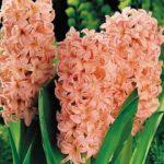 Гиацинт- цветок дождей