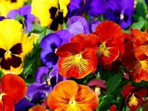 Заседание клуба любителей цветоводства «Гармония»: «Есть глаза у цветов»